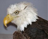 Baldwin, the Bald Eagle