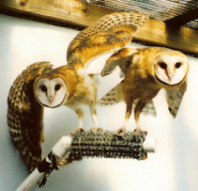 Barn Owls, Adult