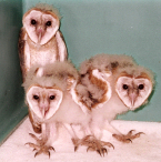 Owls Fledglings