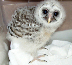 Nestling Barred Owl