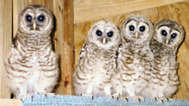 Barred Owl Fledglings