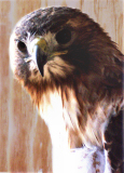Red Tailed Hawk*